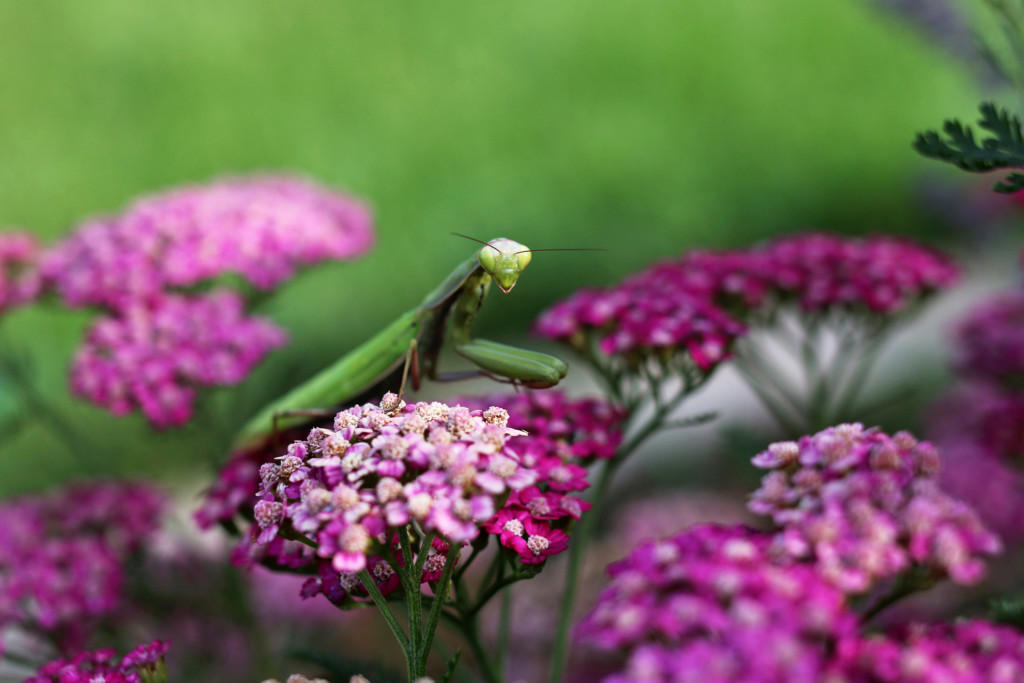 Praying Mantis_3